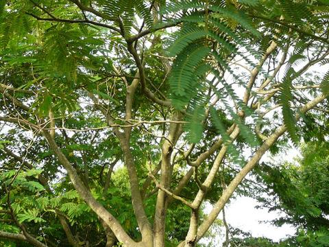 100613ネムノキの幹と樹皮(北総花の丘公園D)s