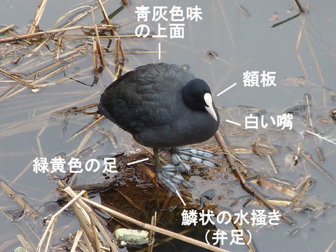 ① 130124 オオバン(戸神防災調節池) s