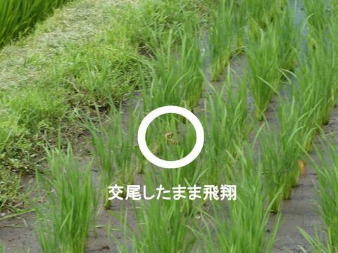 120714ウスバキトンボ(別所)s交尾