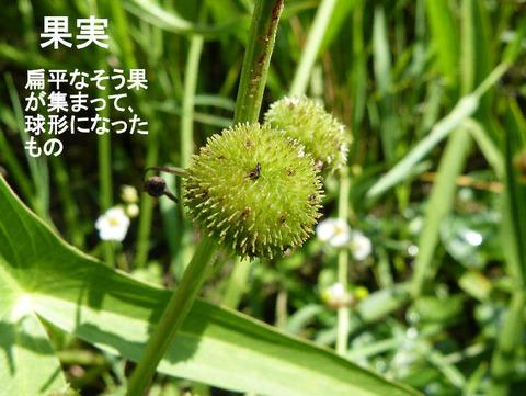 4,120815オモダカの果実(結縁寺)s文字
