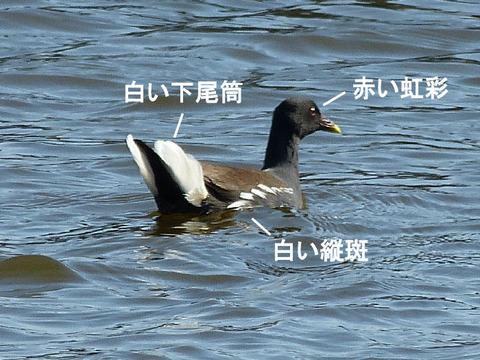 ② 130130バン(手賀沼) s