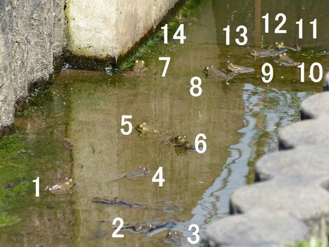 水路のトウキョウダルマガエルの一団s