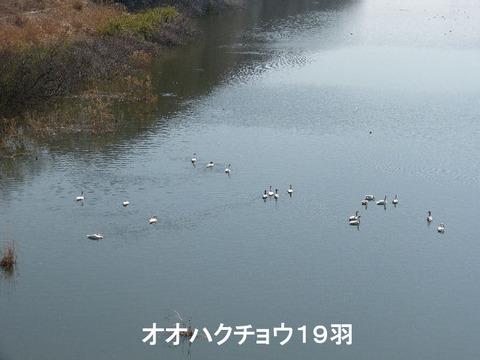 130228オオハクチョウ19羽(戸神防災調節池)s