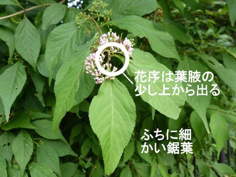 120705ムラサキシキブの葉と花(北総花の丘公園D)文字s