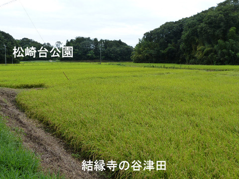 130824稲の実り(結縁寺)
