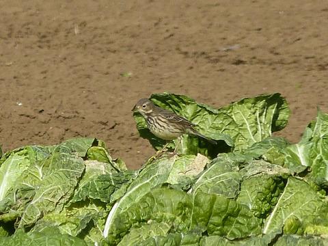① 121211 タヒバリ(大野)白菜畑 s