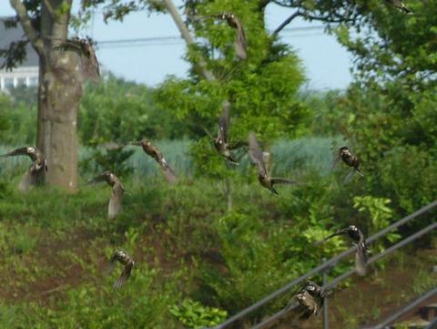 120716ムクドリの飛翔(北総花の丘公園E)ss