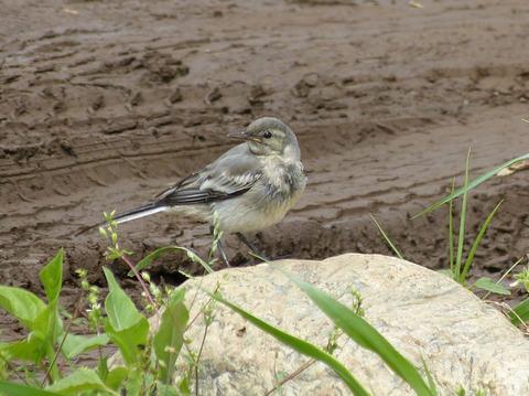 120615セグロセキレイ幼鳥の水浴び(戸神) s