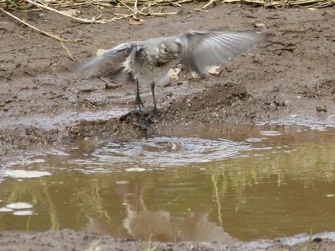 4,120615セグロセキレイ幼鳥の水浴び(戸神)s