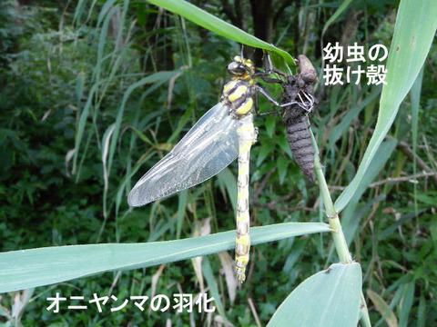 100717オニヤンマ(自然生態園)s