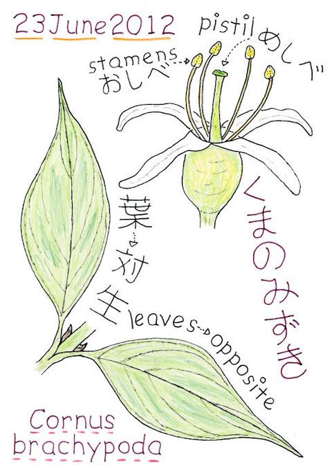 クマノミズキの花のつくりと葉のイラストs