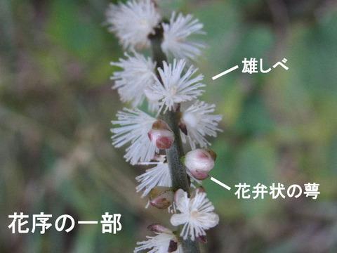 3,120926イヌショウマ(結縁寺)s