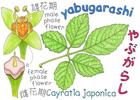 YABUGARASHI-C1 s