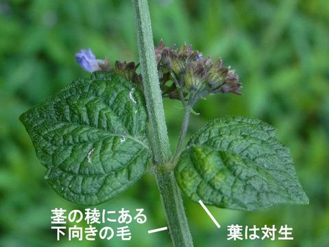 2,120926ヤマハッカ(結縁寺)s