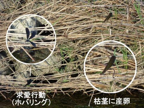 3,120806ハクロトンボの産卵(戸神川)s