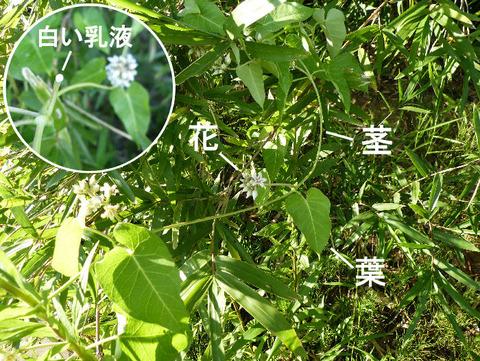 120814ガガイモ(9北総花の丘公園)s文字