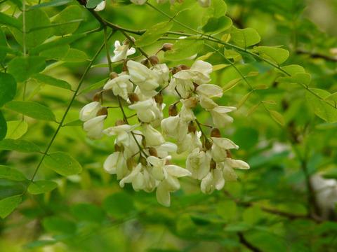120517ハリエンジュの白い花(房総の村)s