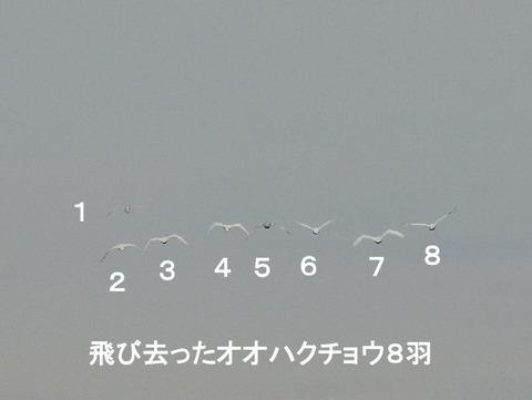 121129オオハクチョウの飛翔8羽(戸神台)後ろ姿s