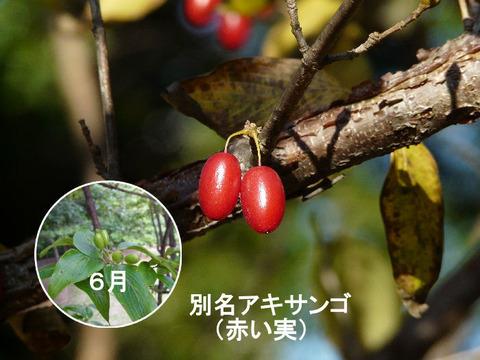 ④ 111212サンシュユの赤い実(北総花の丘公園 C)1s
