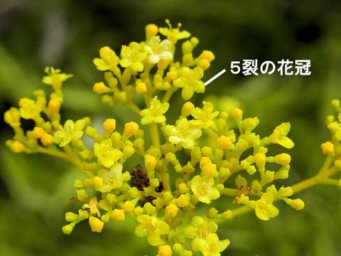 3,120924オミナエシの花(牧ノ原)s