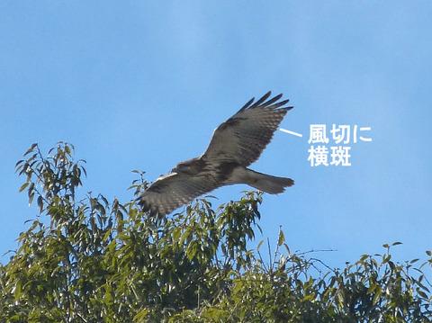 続報② 130117ノスリ(東台寺) 飛翔s