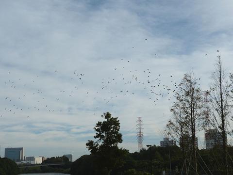 120716ムクドリの飛翔(北総花の丘公園E)s