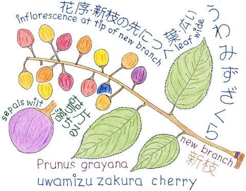 UWAMIZUZAKURA-P2Cs