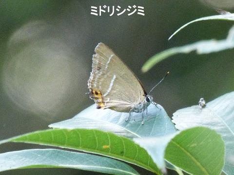 ④-2 120728ミドリシジミ(自然生態園) s