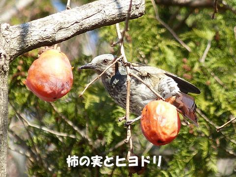 ④ ヒヨドリと柿の実 s