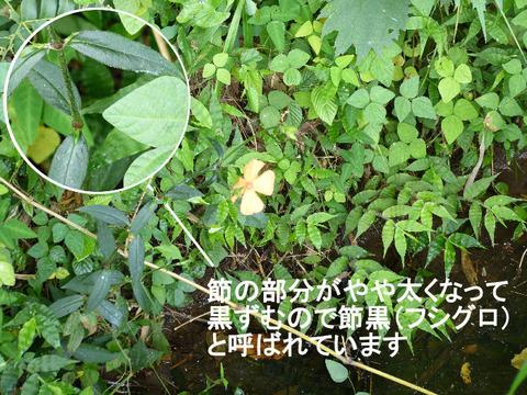 120729フシグロセンノウ(結縁寺)2s