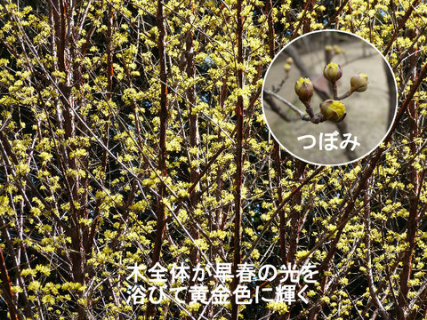 ① 130312 サンシュウユの花満開(北総花の丘公園C)s