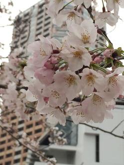 都会の桜2016