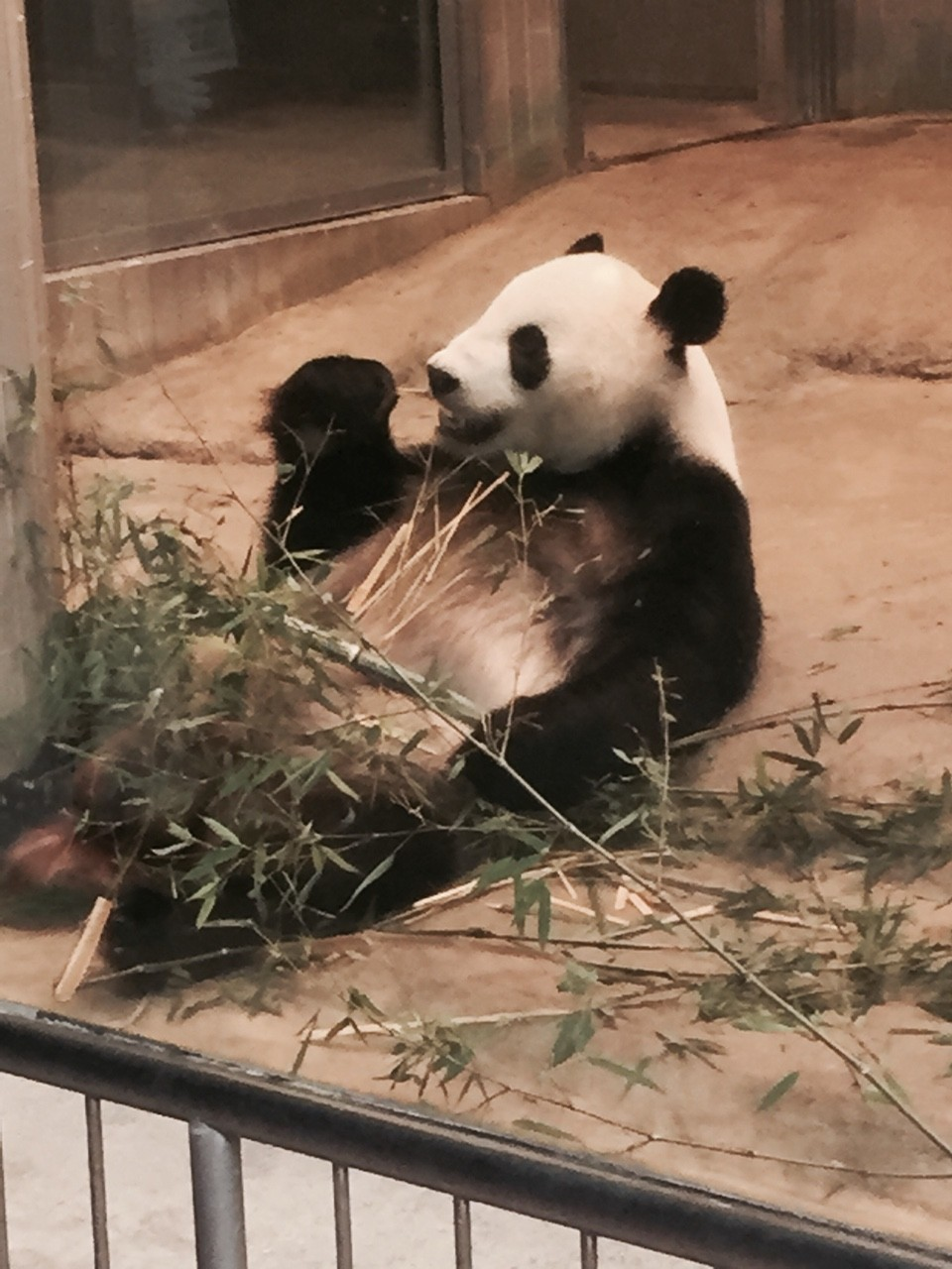 PANDA。