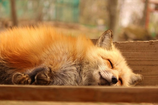 zao-fox-village-japan-29_R