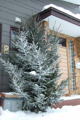 2016_1214 松の木