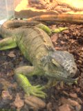 緑イグアナ