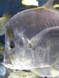 アルミ魚左