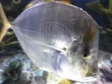 アルミ魚右