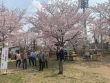 4月7日蕨市郷町会・桜まつり