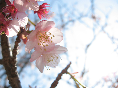 下西風澄 撮影 初春の寒桜