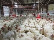 1−出荷直前の鶏群
