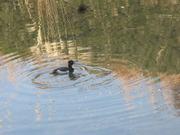 9−川に泳ぐ鴨