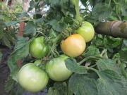 1−成長したトマトの実(ホーム桃太郎)