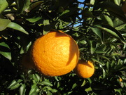 7=柚子の拡大