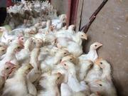 2−鶏を集める