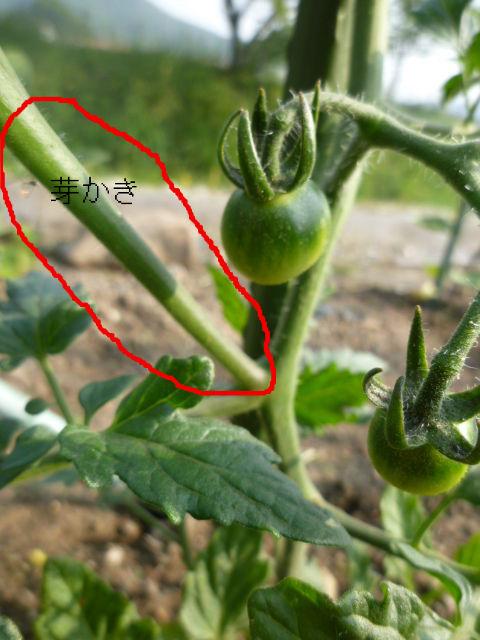 トマト 芽 ミニ