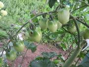 2−成長したトマトの実(フルーツミニトマト)
