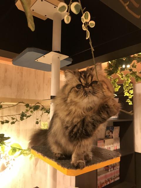 大須猫カフェ(ぷちまりー)9