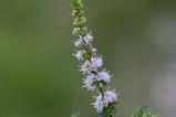 ミントの花