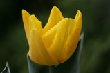 黄色のチューリッ小